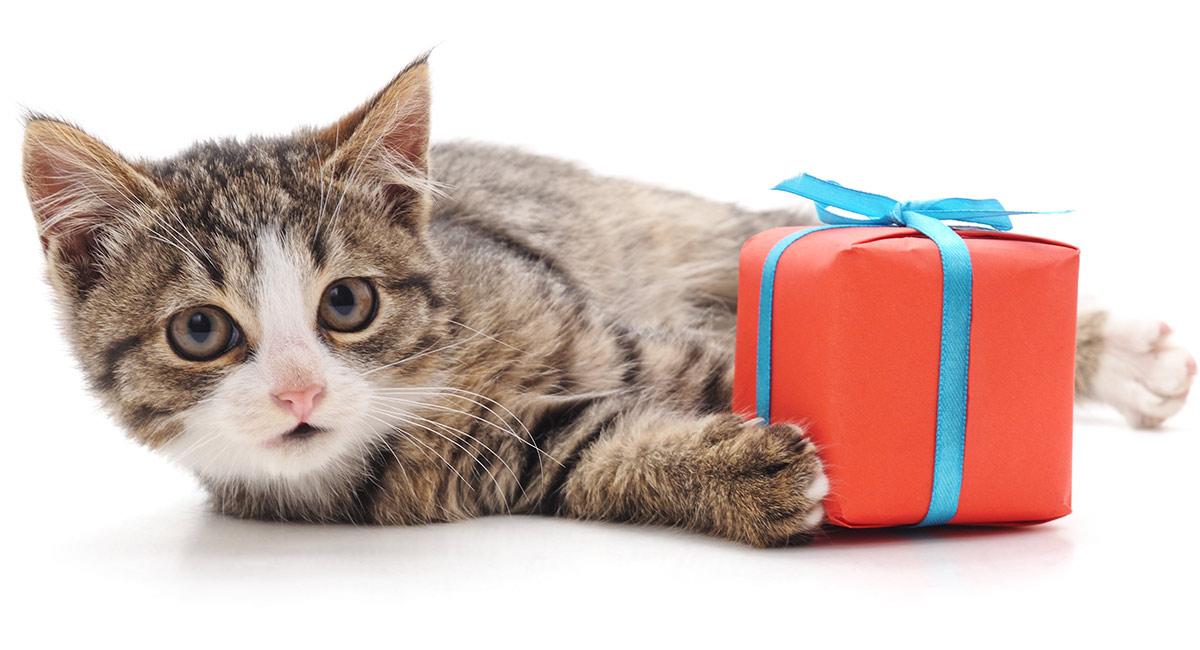Котенок — подарок не для каждого. можно ли дарить кошку?