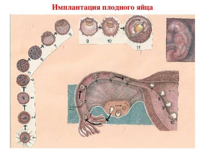 Имплантация эмбриона, на какой день после овуляции происходит