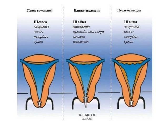 Первая овуляция после родов: когда наступает и есть ли месячные? - ovulyacia.ru