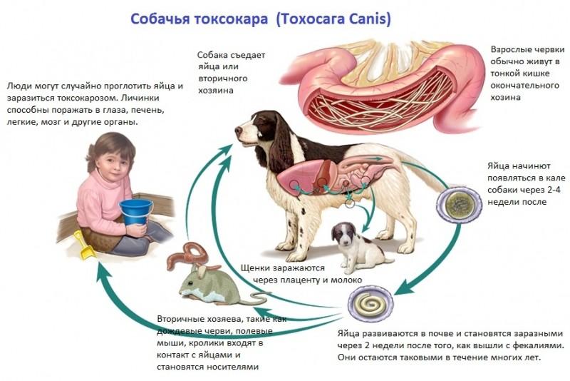 Токсокароз у детей и взрослых - лечение, симптомы, анализ на токсокароз