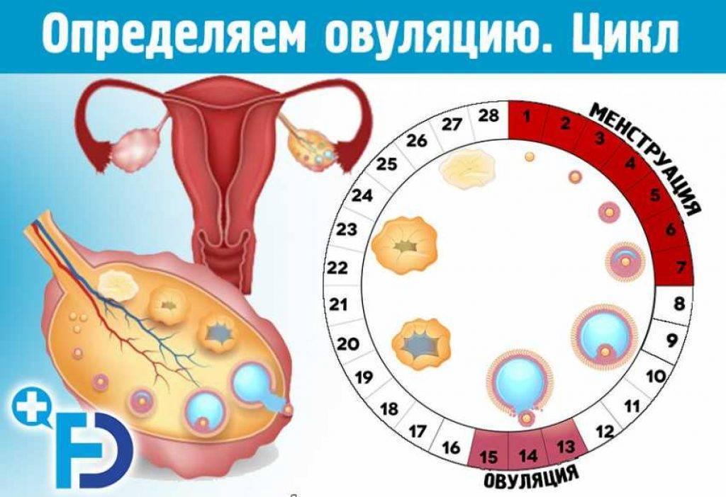 Когда происходит овуляция после месячных, на какой день может наступать зачатие