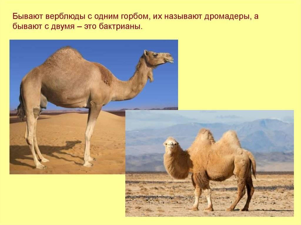 Для чего нужен горб верблюду. зачем нужен горб верблюду