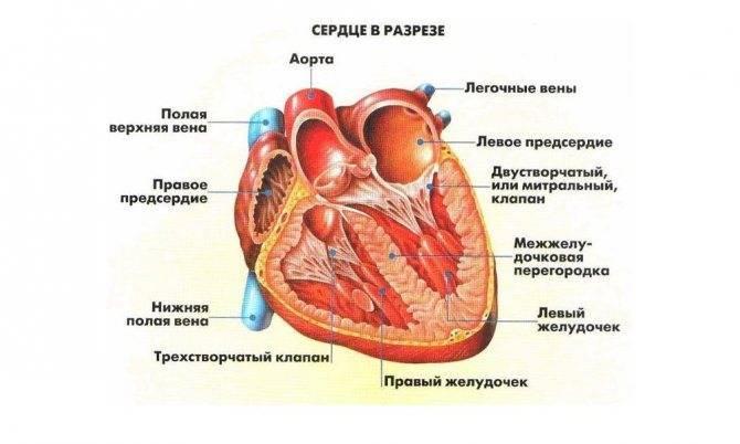 Лишняя хорда в сердце у ребенка комаровский - видболезни