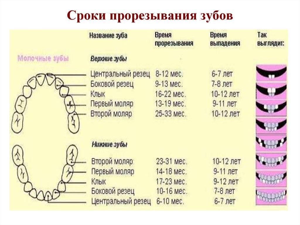 Сроки и порядок прорезывания молочных зубов