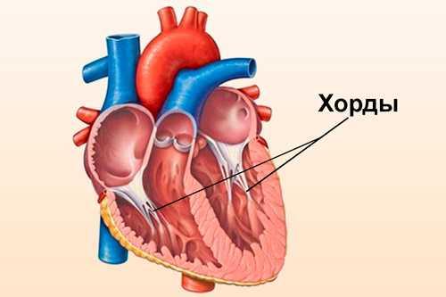 Хорда в сердце — характеристика аномалии
