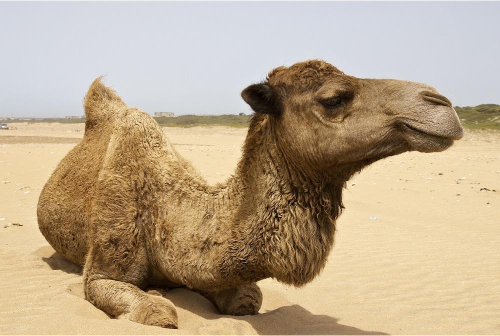 Верблюд: описание животного, где живут, чем питается