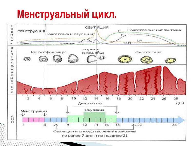 Сбой цикла месячных: причины, что делать когда сбивается цикл