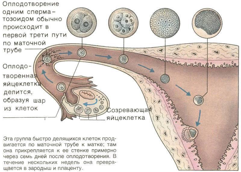 Признаки зачатия после овуляции – когда происходит зачатие после овуляции, на какой день
