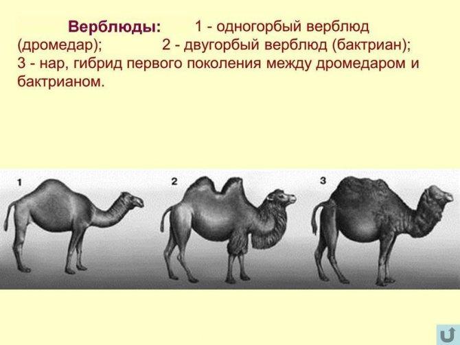 Как объяснить ребенку 3-5 лет зачем верблюду горбы