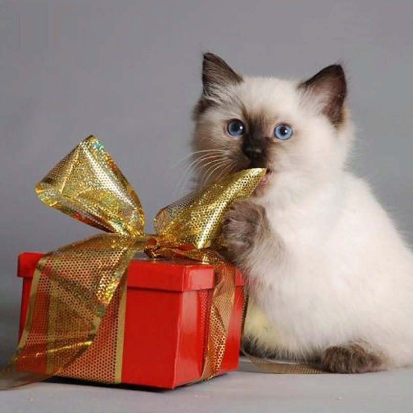 Что подарить коту на новый год: 11 идей