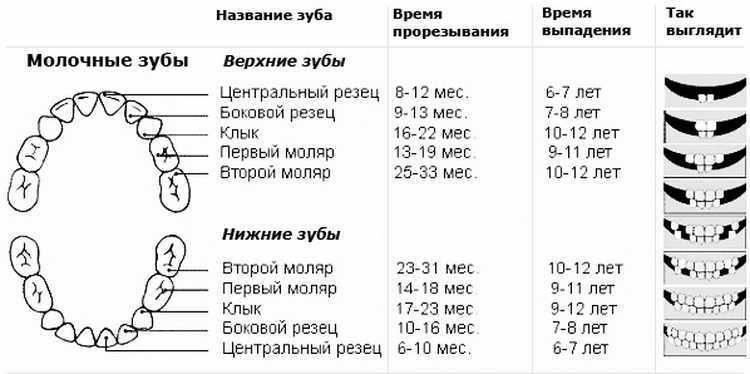 Схема прорезывания зубов. наглядная таблица