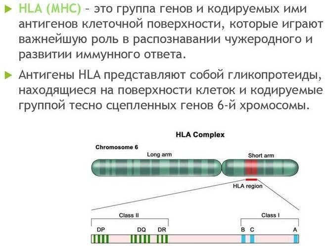 Расшифровать hla типирование