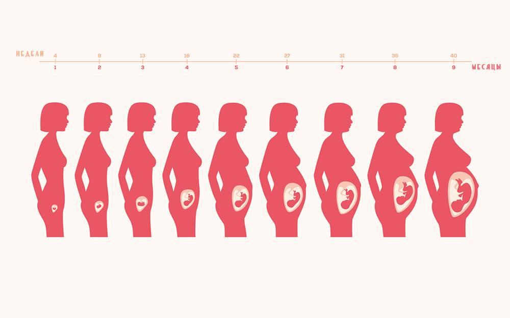 Матка при беременности на ранних сроках - как выглядит, увеличивается, на ощупь