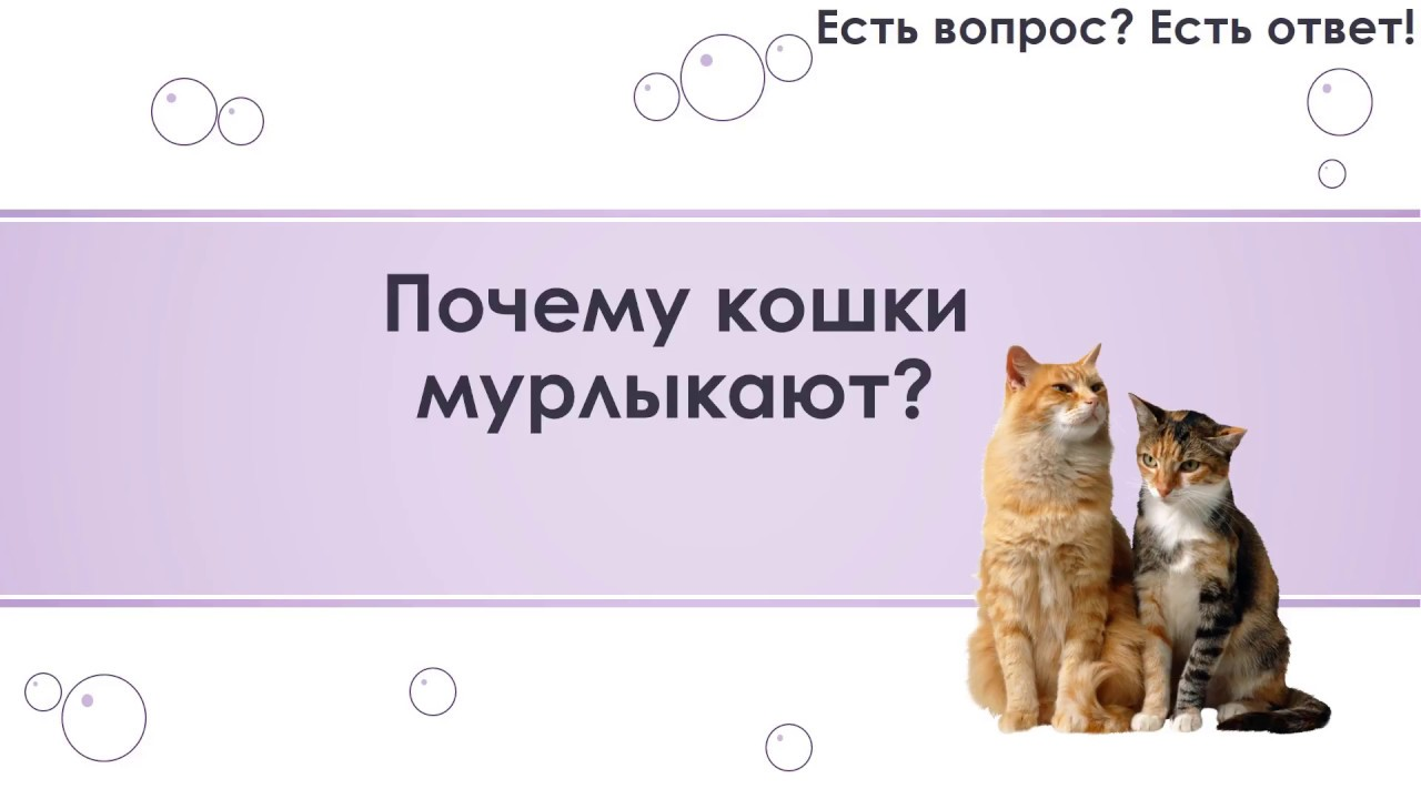 Почему кошки мурлыкают   зачем и как, когда их гладишь