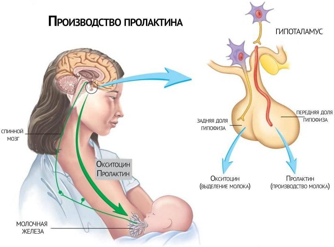 Что такое пролактин. влияния на женщин и мужчин