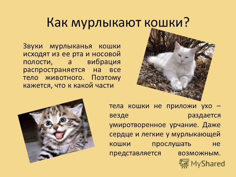Когда котята начинают мурчать