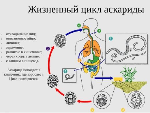 Аскариды у детей (34 фото): симптомы и лечение, схема лечения аскаридоза, как вывести глисты при наличии в кале, признаки заражения и лекарства