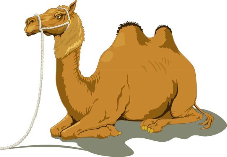 Известные мифы и интересные факты о верблюдах