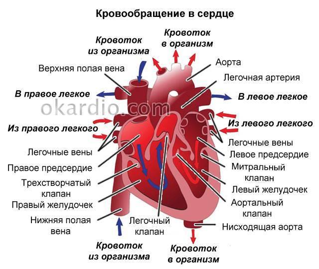 Две хорды у ребенка в сердце