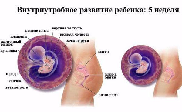 8 недель беременности – это сколько месяцев, что происходит с малышом? беременность 8 недель – развитие плода