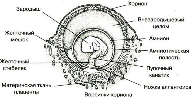 Имплантация эмбриона – можно ли почувствовать начало долгожданной беременности?