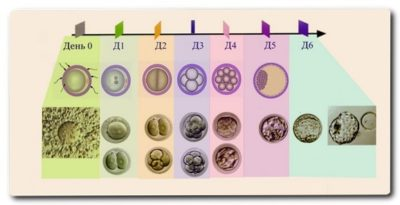 На какой день цикла делают перенос эмбрионов при эко?