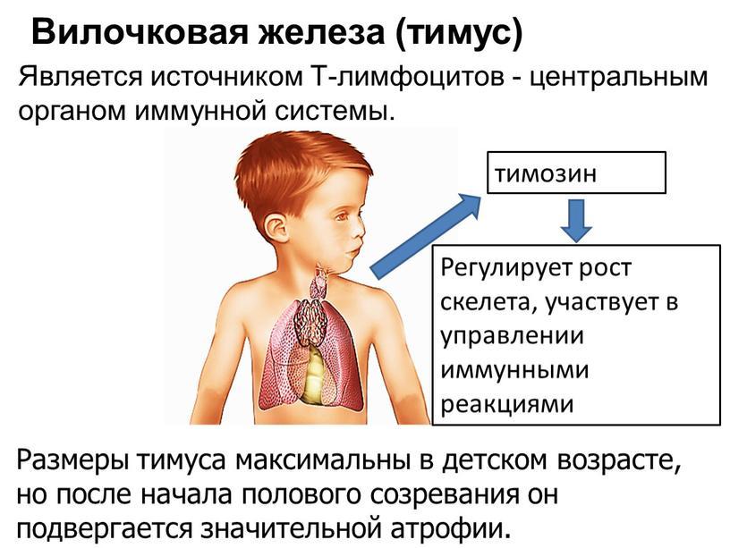 Мрт и компьютерная томография вилочковой железы (тимуса)