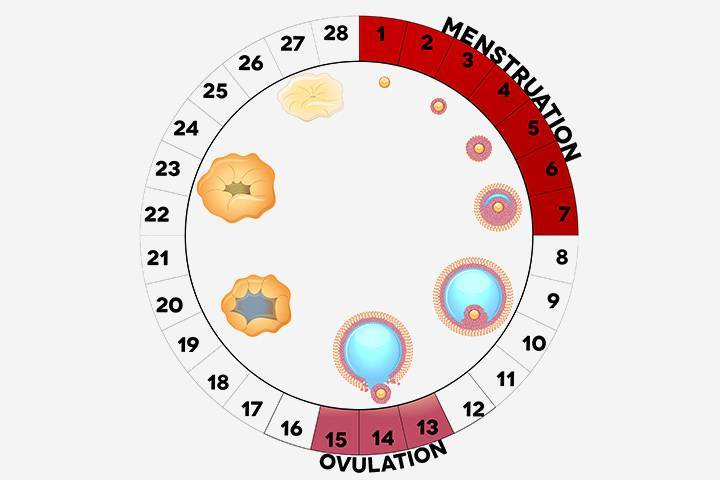 Через сколько дней после месячных наступает овуляция?