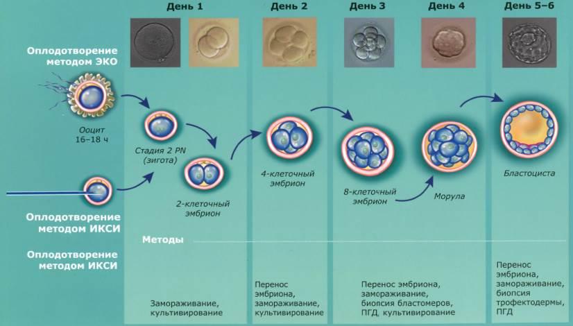 Признаки имплантации эмбриона после переноса при эко