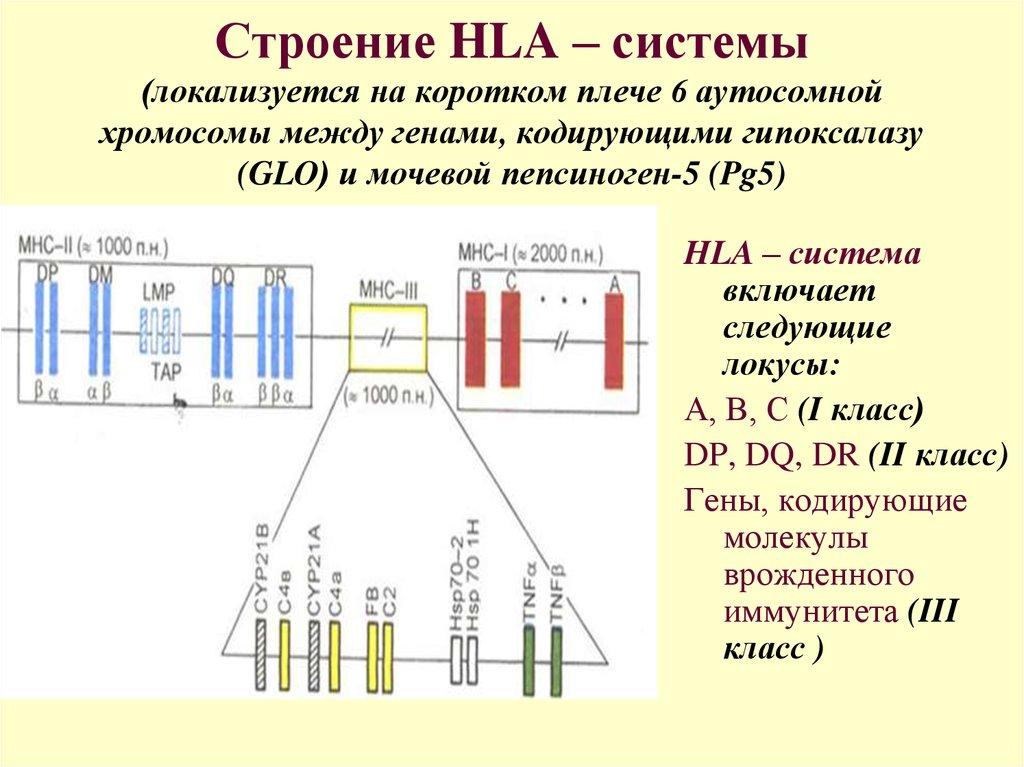Hla типирование: определение, классы hla, анализ на совместимость