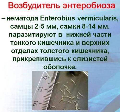 Энтеробиоз у взрослых:симптомы и лечение, диагностика и профилактика