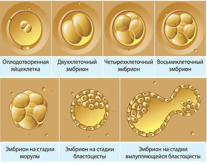 Эко в естественном цикле: процедура без гормональной стимуляции – особенности