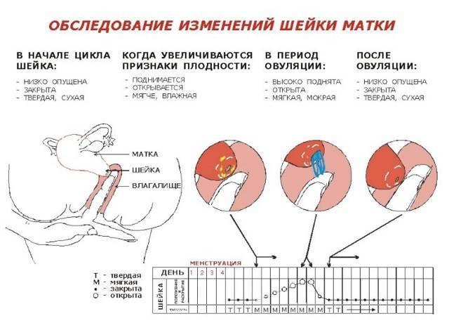 Овуляция без месячных при грудном вскармливании: возможна ли?