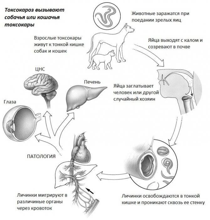 Токсокароз у детей: симптомы и лечение, нормальный показатель, комаровский