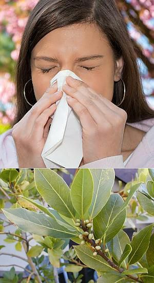 Лечение аллергии лавровым листом