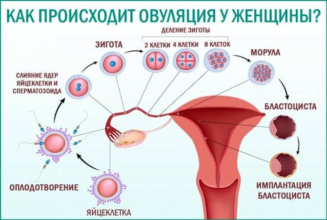 Менструальные циклы и овуляция