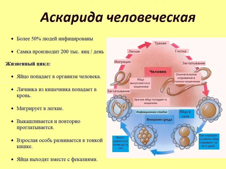 Аскаридоз: чужие внутри