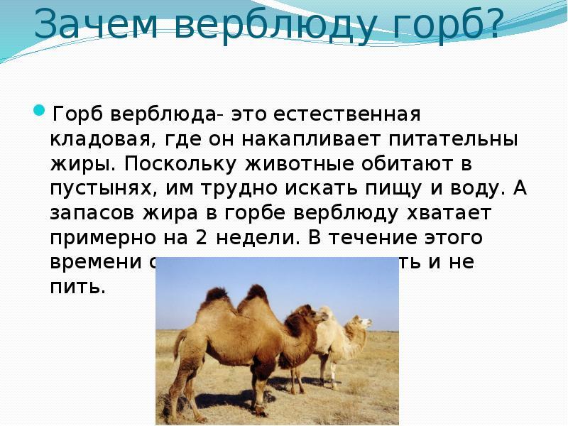 Зачем верблюду горб? - «как и почему»