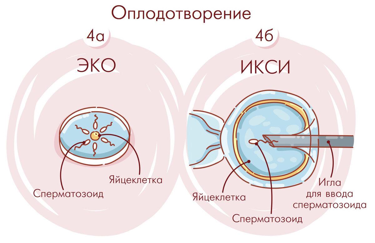 Эко с донорскими эмбрионами - показания, суть метода
