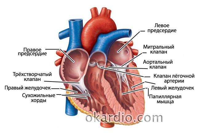 Дополнительные хорды в сердце: что это, симптомы, как диагностируют на узи
