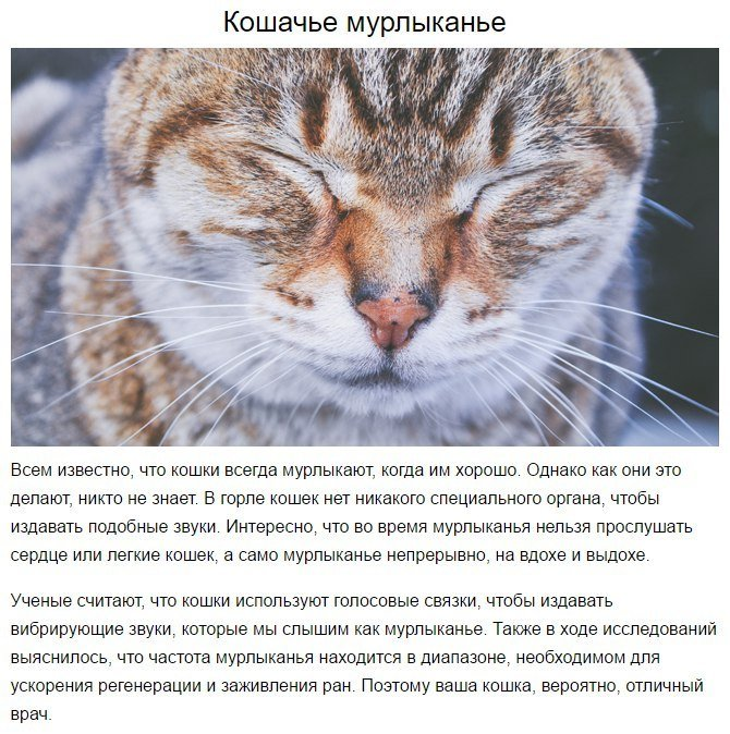 Почему кошка не мурчит?