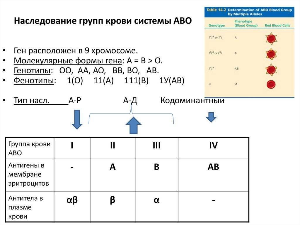 Закономерность наследования групп крови