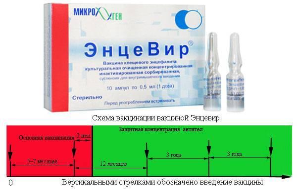 Прививка от клещевого энцефалита детям и взрослым – схема прививок и зачем она нужна + видео как достать клеща