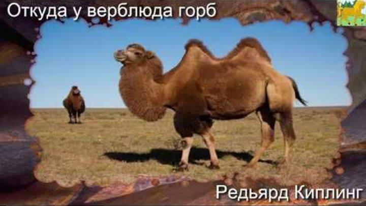 Зачем верблюду горбы? чем питается верблюд? сколько верблюд может жить без воды