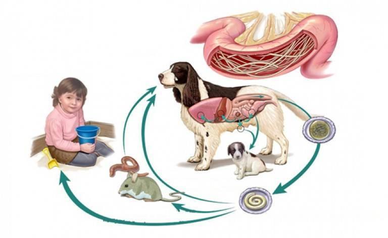 Токсокароз у взрослых: симптомы и схема лечения в домашних условиях