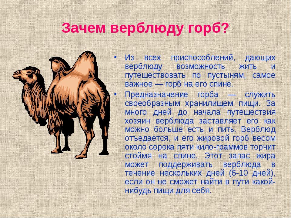 Что находится у верблюда в горбу? - вообще-то.нет