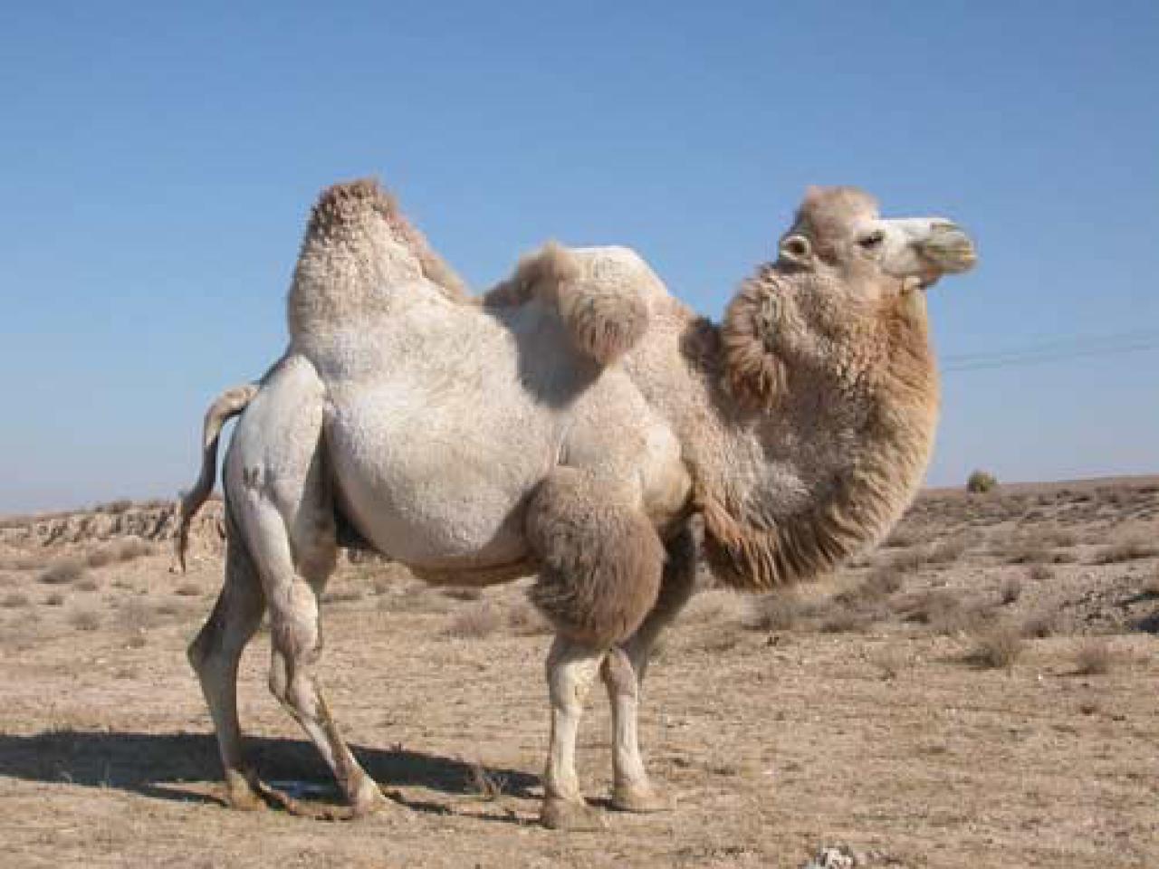 Для чего нужен верблюду горб. как объяснить ребенку 3-5 лет зачем верблюду горбы | интересные факты