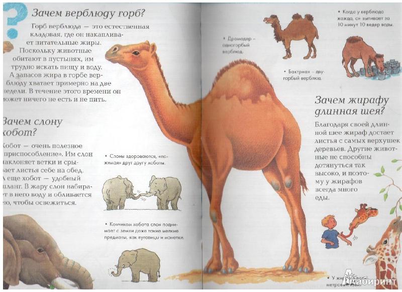 Зачем верблюду горб - назначение горбов у верблюда.