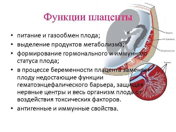 Когда сформировывается плацента. как происходит созревание плаценты во время беременности