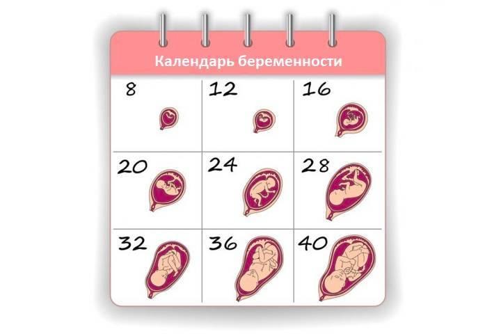 Календарь беременности с расчетом срока по неделям и дням
